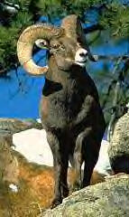 Bighorn Sheep Image