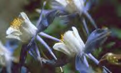 Columbine Flower Image