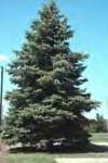 Blue Spruce Image