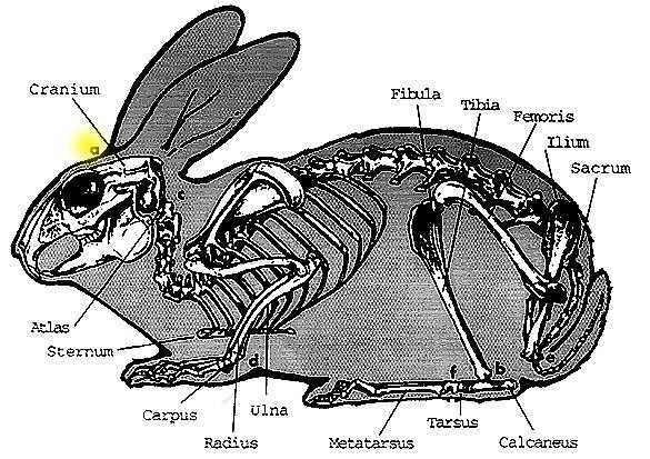Rabbit Skeleton Image